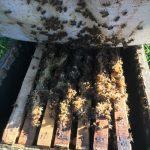 کلنی زنبور عسل