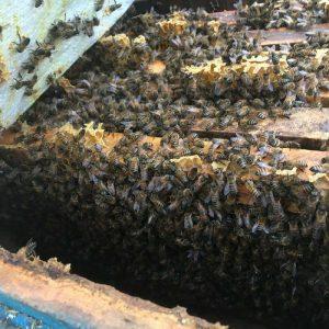 فروش زنبور عسل