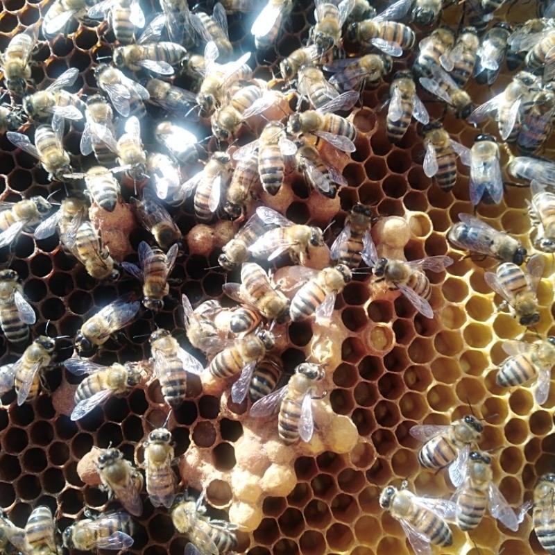 خریدار زنبور عسل