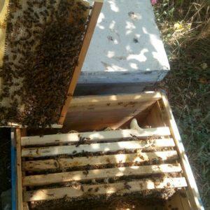 پنج عددکلنی زنبور