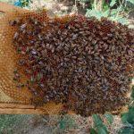 عسل کاملا ارگانیک و درمانی ترنجبین
